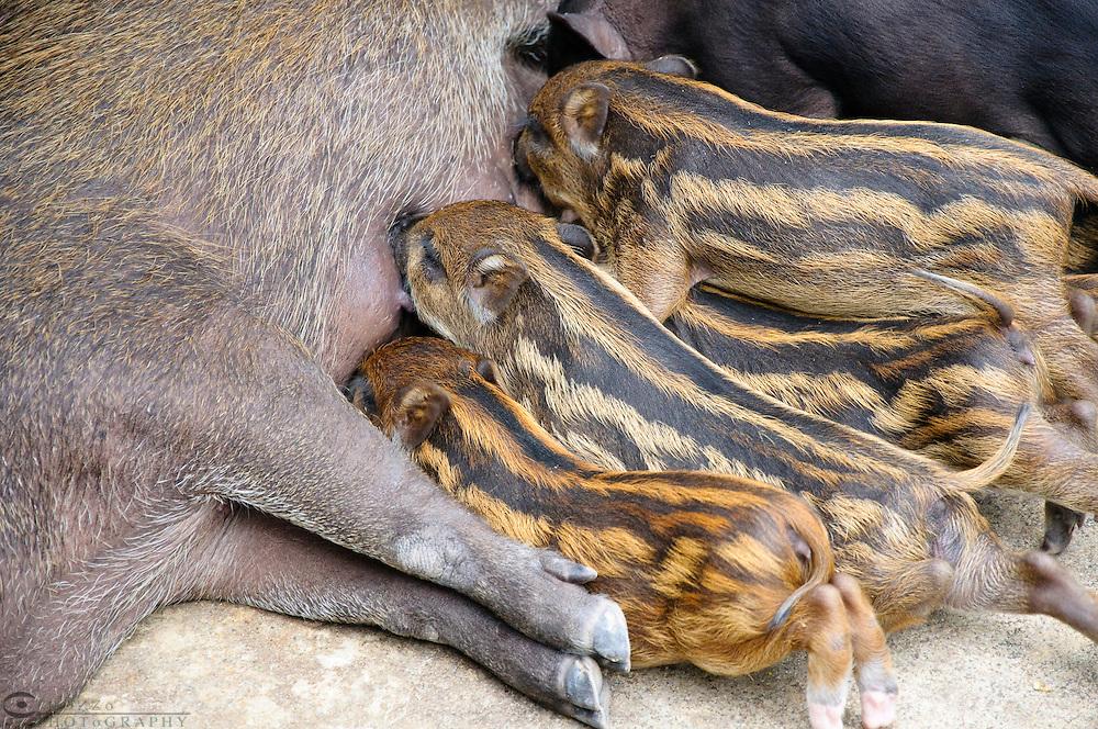 Piglets nursing, Samphran Elephant Ground & Zoo Nakhon Pathom province, Thailand.