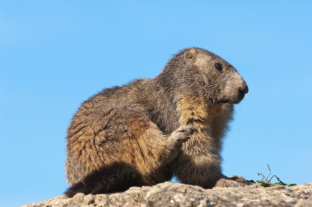 Alpine marmot scratching, Marmota marmota, Guillestre, Queyras, France, Europe