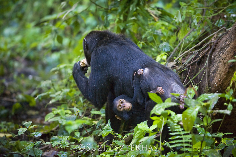 Chimpanzee <br /> Pan troglodytes<br /> Mother carrying one year old infant<br /> Tropical forest, Western Uganda