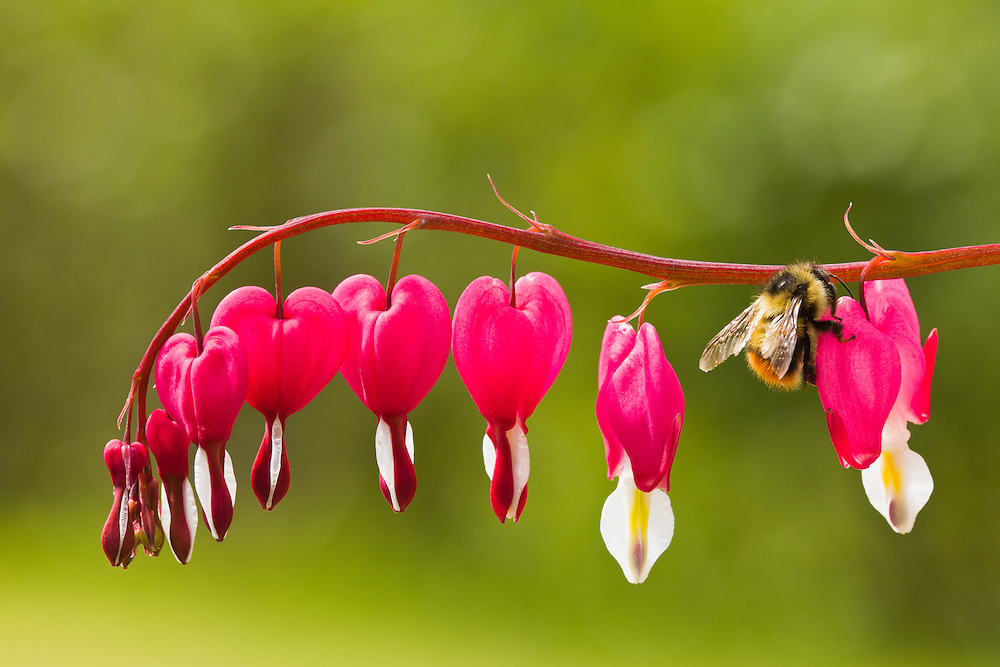 A bee looking for nectar on a Bleeding Heart (Dicentra spectabilis) flower in late spring in a garden in Southcentral Alaska. Afternoon.