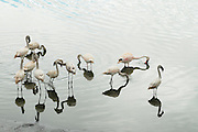 Large flock of Greater flamingo (Phoenicopterus ruber). Photographed in Africa, Tanzania, Serengeti National Park,