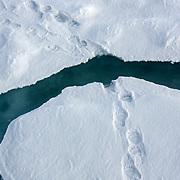 Polar bear tracks, north pole
