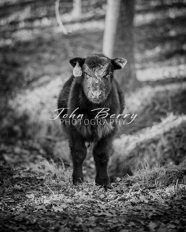 January 1, 2014:   farm landscape, cows and calves