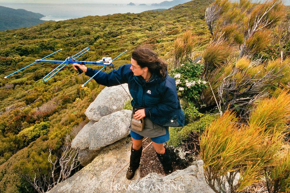 Researcher tracking kakapos with telemetry, Codfish Island, New Zealand