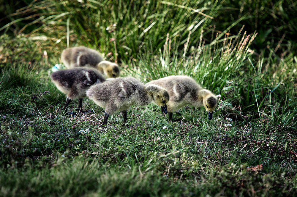 Canadian goose goslings