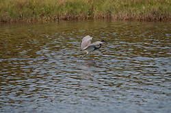 Tricolored Heron (Egretta tricolor), Merritt Island National Wildlife Refige, Titusville, Florida, US
