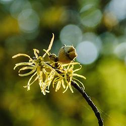 Hamamelidaceae, Toverhazelaarfamilie