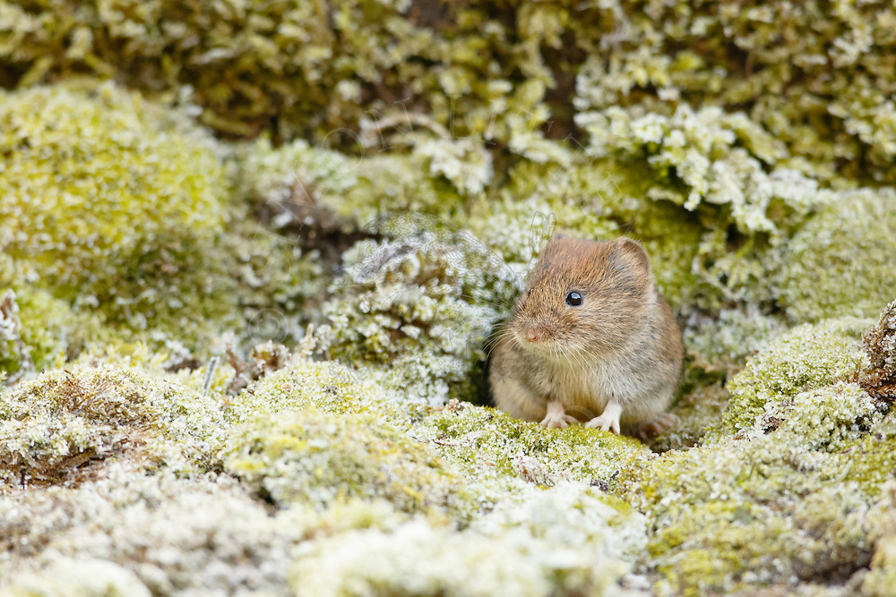 Bank Vole (Clethrionomys glareolus) adult emerging through hole in mossy bank during hard frost, South Norfolk, UK. January.