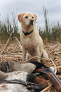 Ten-year-old Yellow Lab, Rosie, with a mixed bag of geese and cans during a Manitoba hunt.