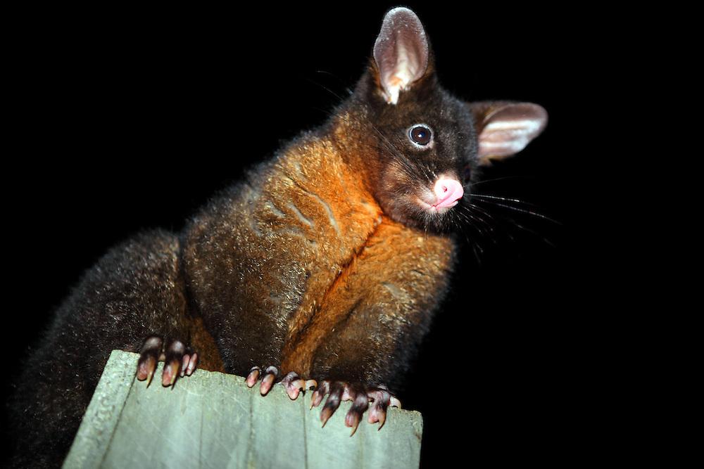 Possum in Porpoise Bay, The Catlins