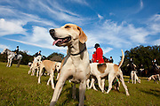 Fox hounds during a break in the hunt during the Middleton Place foxhunt at Middleton Place plantation in Charleston, South Carolina. The hunt is a drag hunt where a scented cloth is used instead of live fox.