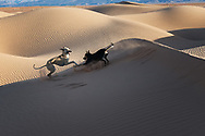 Two Sloughi dogs (Arabian greyhound) play in the sand dunes in the Sahara desert of Morocco.