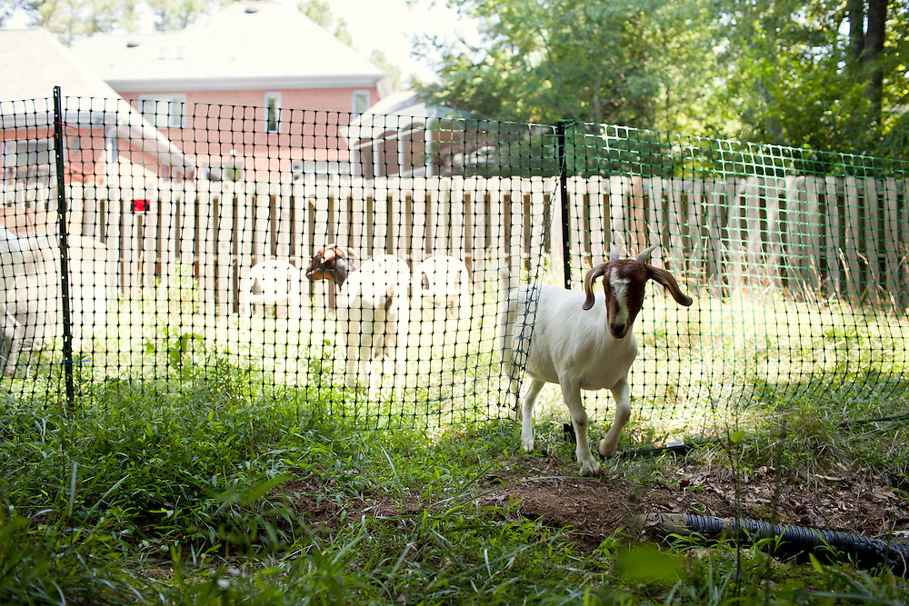 A goat slips through the temporary fence erected to keep it contained and grazing on a lot-side easement behind a home in Chapel Hill, N.C., Thurs., July 22, 2010...D.L. Anderson for The Wall Street Journal..GOATS