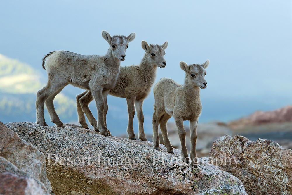 Bighorn Lamb Trio<br /> Mount Evans, Colorado