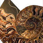 Calcified Ammonite cross sections Cretoceous Period  145- 165 Million Years Old<br />