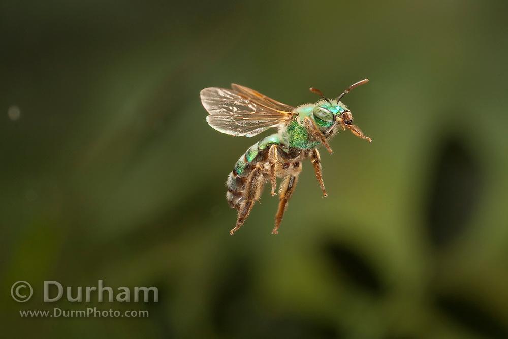 A native green bee (Andrena ilicis) in flight, Texas.