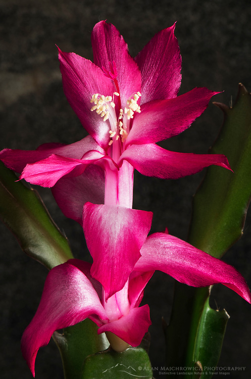 Purple Christmas Cactus( Schlumbergera bridgessii) Blossoms