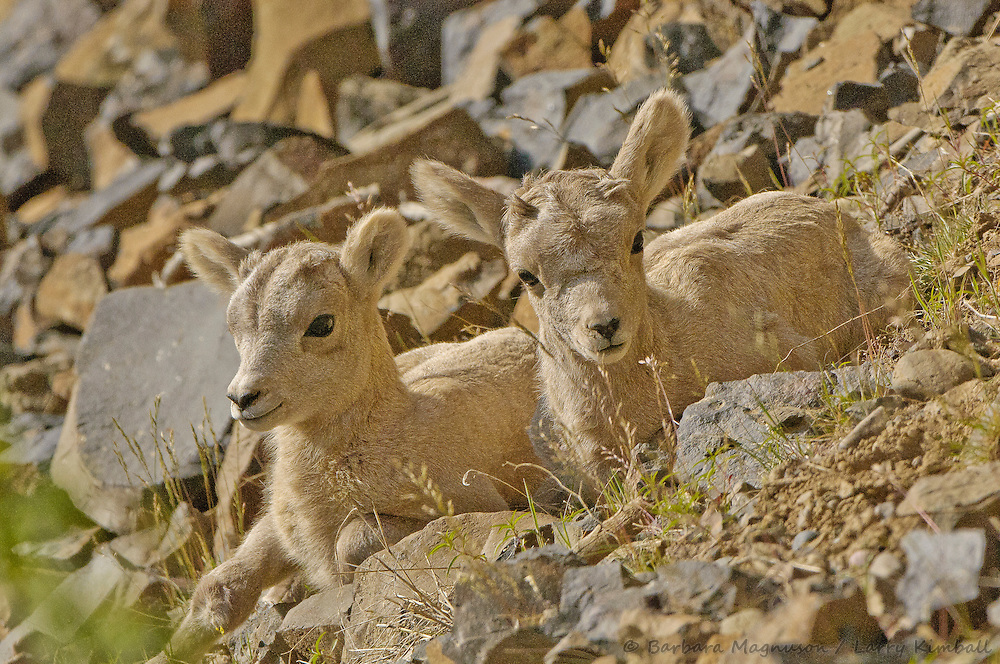 Rocky Mt. Bighorn Sheep [Ovis canadensis] lambs, resting; Yellowstone NP., Wyoming