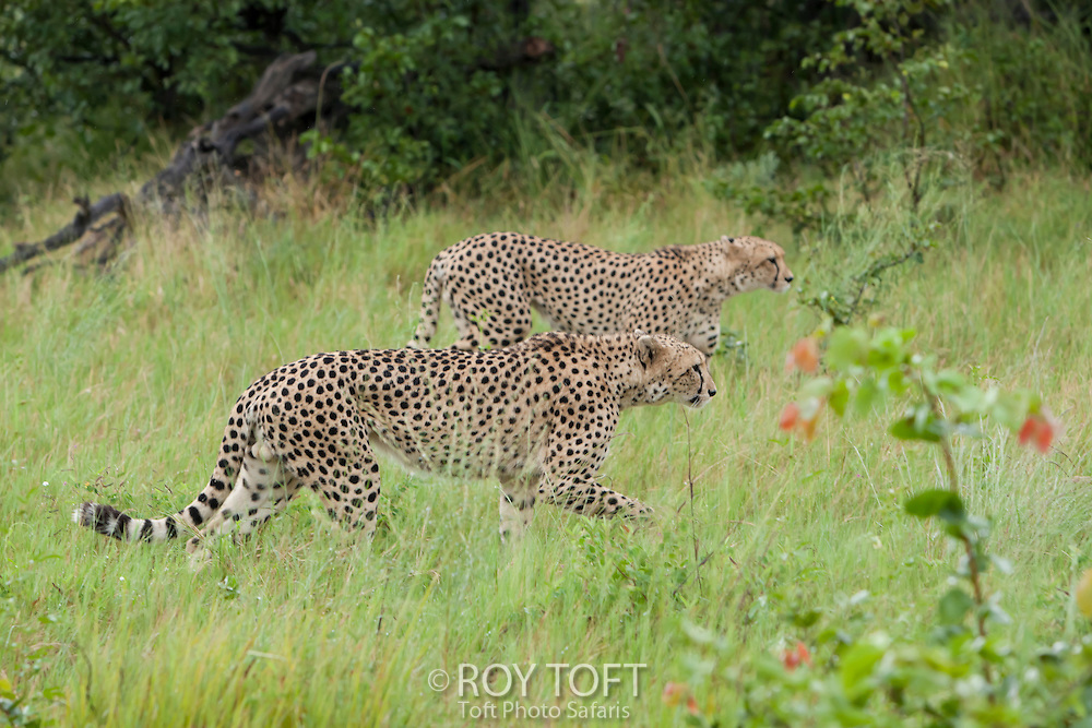 A pair of cheetahs walking through the tall grass, Botswana, Africa