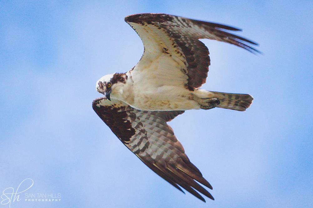 Rough Legged Hawk hovering above Browns Point, WA