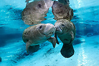 Florida manatee, Trichechus manatus latirostris, a subspecies of the West Indian manatee, endangered. A series of an adult female manatee who checks in on a male calf that is alone in the springs. There is tender tactile interaction, socialization, and evident caring. The two manatee engage in snouts touching or a type of manatee kissing. Horizontal orientation with blue water from the spring and other manatee below with reflections, and sun rays. Three Sisters Springs, Crystal River National Wildlife Refuge, Kings Bay, Crystal River, Citrus County, Florida USA.