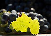 Ladybug on Pinot Noir leaf of freshly harvested bin of grapes at Sokol Blosser vineyard, Dundee Hills, Willamette Valley, Oregon