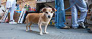 Chihuahua dog waits patiently while owner shops at the market in Pienza, Tuscany, Italy