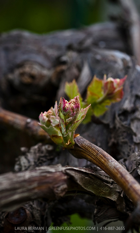 New leaves on very old grapevine stock, in a vineyard in early spring.