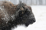 Snow falls on a buffalo in Baxter County, Arkansas.