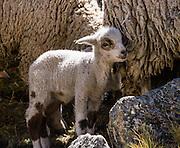 A cute lamb in Huanacpatay Valley, Cordillera Huayhuash, Andes, Peru, South America. Day 6 of 9 days trekking around the Cordillera Huayhuash.