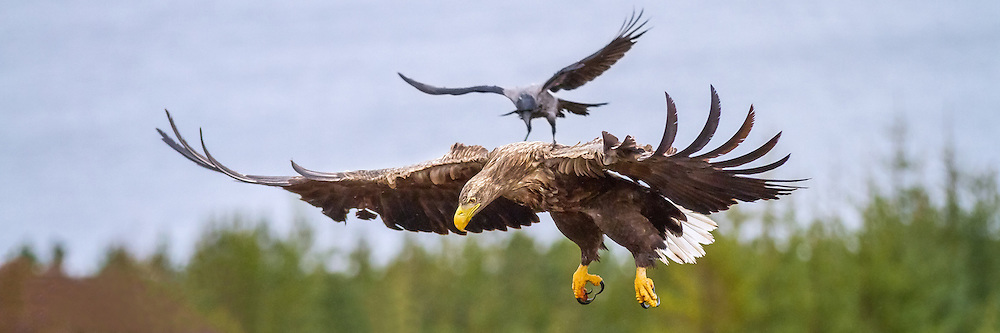 Crow attacking White-tailed Eagle from above | Kråke angriper Havørn ovenfra