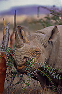 Across the African continent rhinos, both black and white, are heavily poached for their horns making them one of the most endangered species. Currently, Black rhino population in Africa is estimated to be less than 3600. In 1900 it was estimated to be in the hundreds of thousands.
