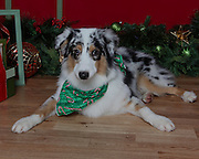 Christmas dog photo