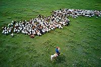 Mongolie, province Selenge, cavalier nomade avec son troupeau de mouton et de chèvre, vue aerienne //Mongolia, Selenge province, shepherd and his sheep flock, aerial view