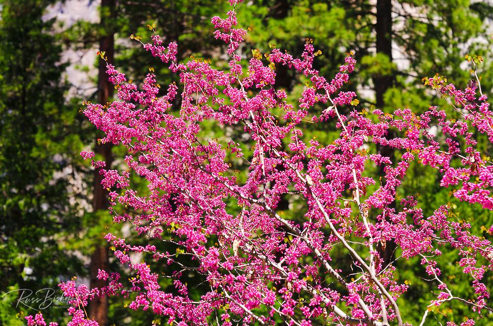 Western Redbud (Cercis occidentalis), Yosemite National Park, California USA