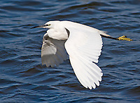 Little Egret - Egretta garzetta - flying across water with wings low, Flintshire, Wales - August