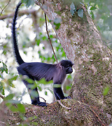 Grey-cheeked mangabye (Lophocebus albigena) from Kibale Forest, Uganda.