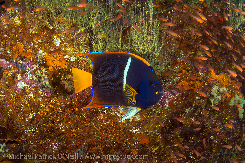 The Passer's or King Angelfish, Holacanthus passer, is a common tropical fish found throughout the Galapagos Islands, Ecuador.