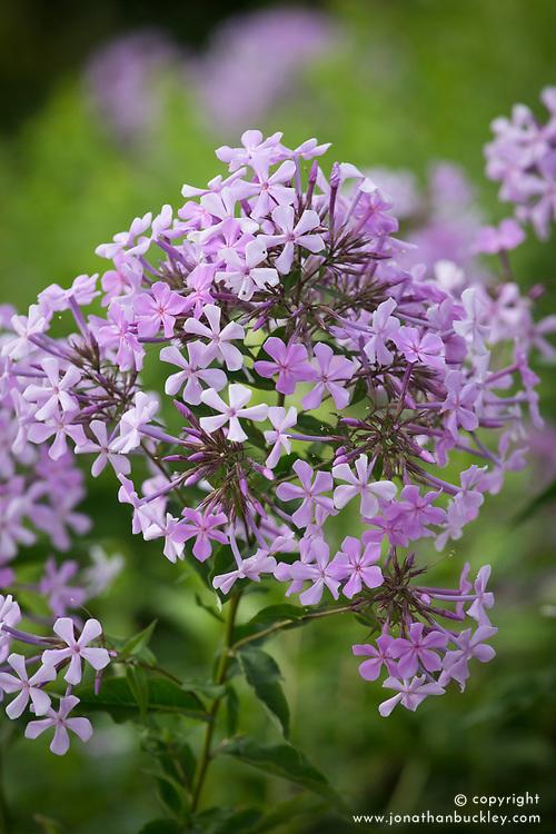 Phlox paniculata or Phlox paniculata 'Jeana'