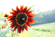Bee on red sunflower, Markristo family farm, Hillsdale, NY