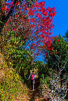 A hiker passes poinsettia flowers near the Gurkha village of Chitepani, in the foothills of the Himalayas, near Pokhara, Nepal.
