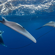 Spinetail devil rays ( Mobula mobular ) engaged in courtship, Honda Bay, Palawan, the Philippines