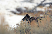 Gray Wolf Gray wolf (Canis lupus) wearing Radio Telemetry Collar