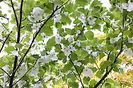 Davidia involucrata (handkerchief tree), RBG Kew