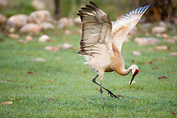 A Sandhill Crane preforms its mating dance for his partner it is spring time even in a cow pasture.