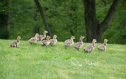 A gaggle of Canada goose goslings walk across a manicured grass lawn.