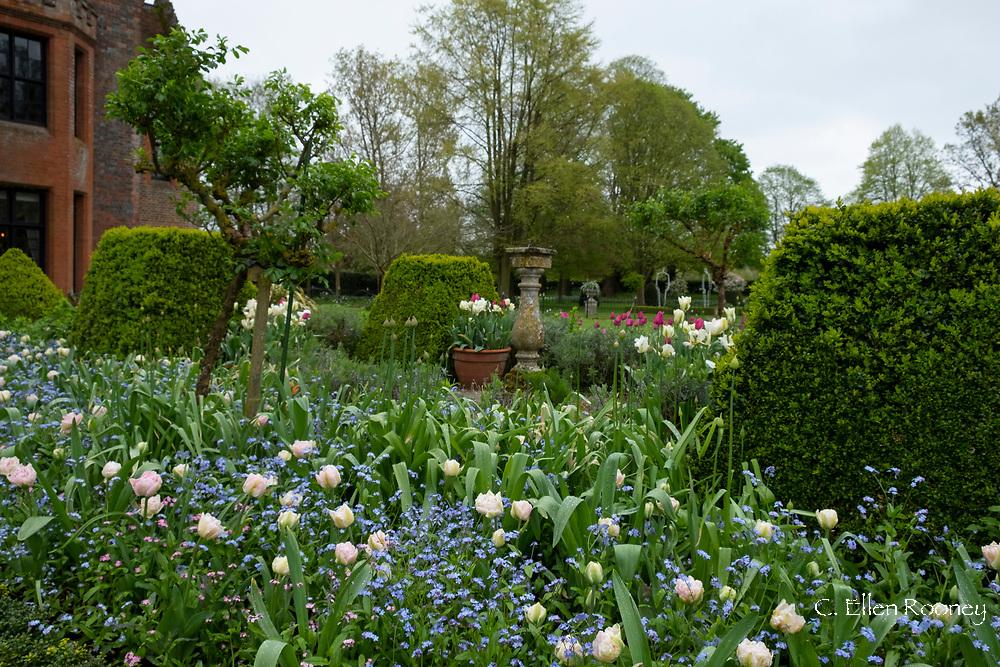 Tulipa 'Angelique' underplanted with Myosotis at Chenies Manor Gardens, Rickmansworth, Buckinghamshire, UK, April