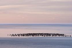 Flock of Geese at Holtsos, Iceland - Gæsahópur við Holtsós undir Eyjafjöllum