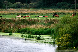 UK ENGLAND CAMBRIDGESHIRE 7AUG06 - Livestock grazes near the River Cam running through the Fenlands and the city of Cambridge...jre/Photo by Jiri Rezac..© Jiri Rezac 2006..Contact: +44 (0) 7050 110 417.Mobile:  +44 (0) 7801 337 683.Office:  +44 (0) 20 8968 9635..Email:   jiri@jirirezac.com.Web:    www.jirirezac.com..© All images Jiri Rezac 2006 - All rights reserved.