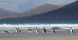 Gentoo penguin, Saunders Island, Falkland Islands
